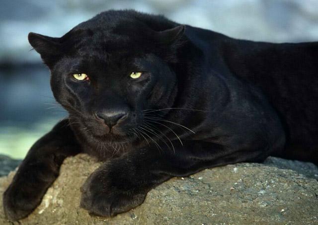 史上最强猫科动物, 比老虎狮子更凶猛