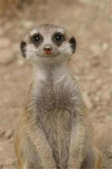 是非洲最具特色的动物之一,一群细尾獴站立起来四处张望的情景可以说
