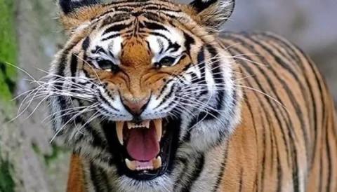 女子动物园下车 竟被老虎凶猛叼走! 大难不死却.