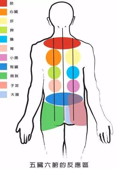 部娇嫩最上面,左边为心右为肝,  臀上左肾加膀胱,右边子宫和大肠图片