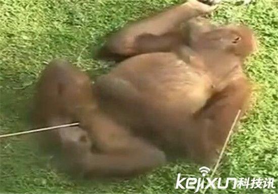 大熊猫 自慰 撸管 动物自慰视频 倭黑猩猩 [科技讯]4月23日消息,动物还会自慰,你听说过么,除了我们熟知的大熊猫,最近动物园里倭黑猩猩宁可自己撸管也不要和母猩猩同房,动物园还放出了视频,这到底是怎么回事呢?还有哪些动物也有自慰行为呢? 让动物园着急的是,两只猩猩已经合笼饲养两年,但至今没有繁殖行为。尤其是年龄较小的公猩猩,更是不解风情。  而当赛米有发情表现时,却绝对不去找玛雅,平时就对人特别感兴趣的它这个时期见了饲养员会表现得异常兴奋,有时候烦躁不已还会自己解决自慰。  据园方解释,其实动物有