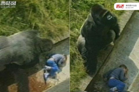 美国动物园大猩猩惊魂事件