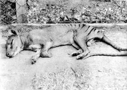 袋狼: 团灭于英国猎人之手的澳洲之狼 - 微信奴图片