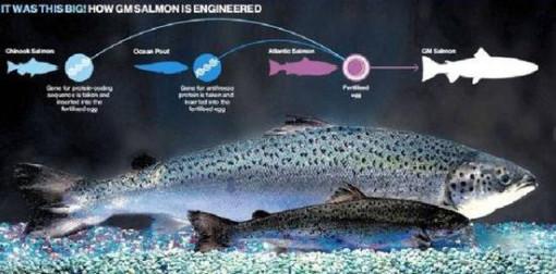 世界首个食用转基因动物获批背后