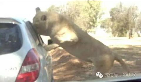 大事· 在动物园被猛兽袭击