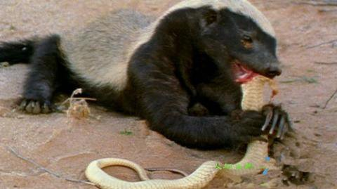 动物界我只服平头哥, 这货眼镜蛇的毒液当二锅头喝