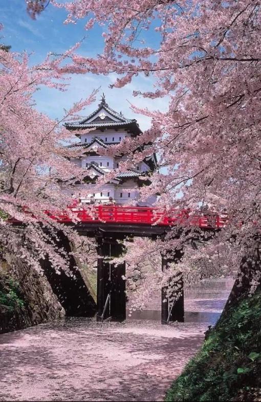 高清樱花风景竖屏