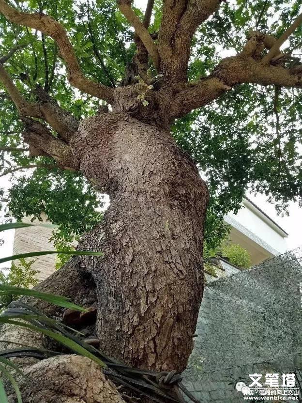 清檀树的前景如何