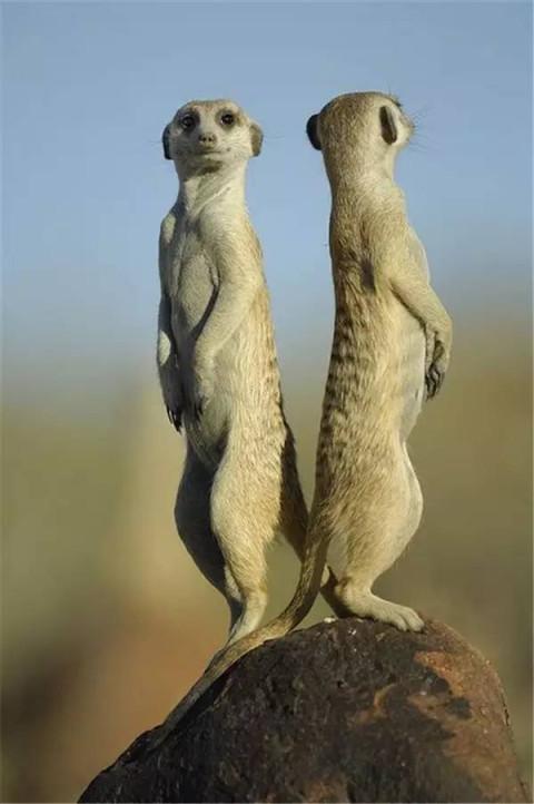 是非洲最具特色的动物之一,一群细尾玝站立起来四处张望的情景可以说