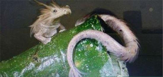 真龙现身昆仑山 世界上仅存的三条蛟龙之一